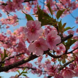 愛宕山 河津桜